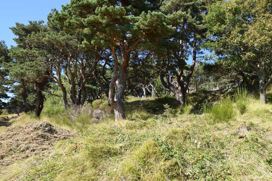 Après le débroussaillage, les vieux pins de boulange sont de nouveau mis en valeur.